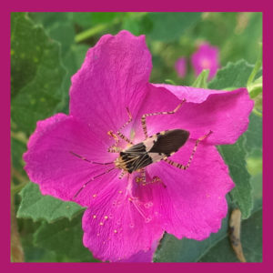 A Bug On Rock Rose